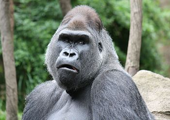 English: Western Lowland Gorilla Gorilla goril...