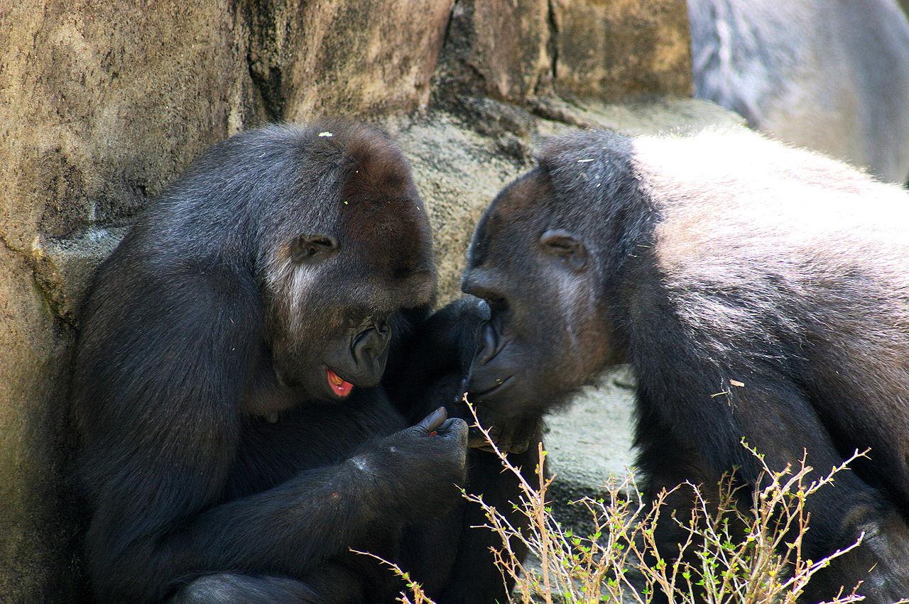 Gorillas 2609.jpg