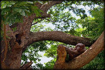 Gracile chimpanzee.jpg