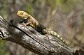 Grand Canyon Nat. Park Desert Spiny Lizard (Sceloporus magister) 3411.jpg