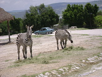 Safari park - Grant's zebras at Africam Safari, Mexico
