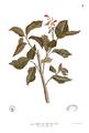 Graptophyllum pictum Blanco1.7.png