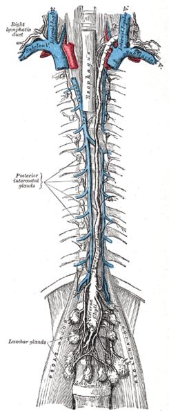 Vaso linfático - Wikipedia, la enciclopedia libre