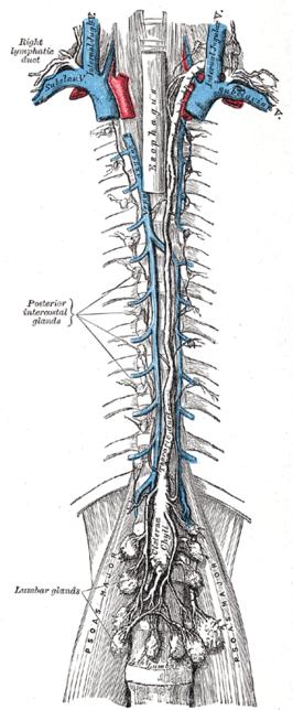 Ductus thoracicus Wikipedia