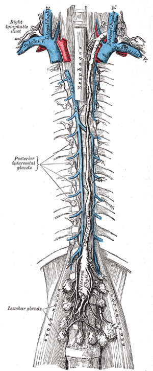 Lymphatic vessel - The thoracic duct and right lymphatic duct.