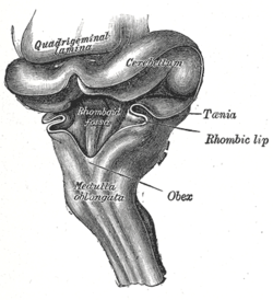 Hind-brain of a human embryo of three months—viewed from behind and partly  from left side. (Rhomboid fossa labeled at center.) 7bfbd4cc34e