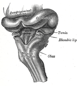 Obex - Hind-brain of a human embryo of three months—viewed from behind and partly from left side.
