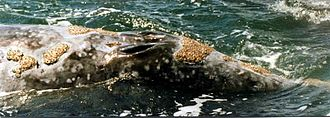 Gray whale - A close-up of a gray whale's double blow hole and some of its encrusted barnacles