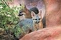 Gray fox kits (41915544435).jpg