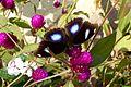 Great Eggfly. Hypolimnas.Bolina Jacintha - Flickr - gailhampshire.jpg