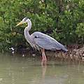 Great blue heron, Galápagos Islands 01.jpg