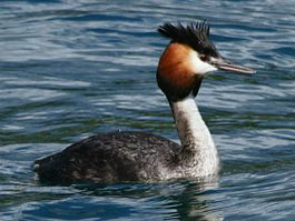 Great crested Grebe RWD7.jpg