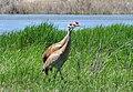 Greater Sandhill Crane Pair on Seedskadee National Wildlife Refuge (14390461042).jpg