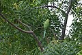 Green Parrot in Ramat Gan (3).jpg