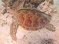 Green Turtle resting.jpg