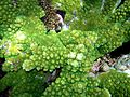 Green corals.jpg