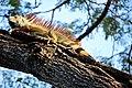Green iguana (24569657091).jpg