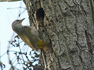 Grey-headed Woodpecker, Białowieża, Poland.jpg