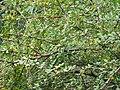 Grey-hooded Warbler - Phylloscopus xanthoschistos - P1040517.jpg
