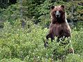 Grizzly steht.jpg