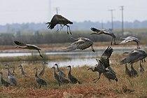 Grus canadensis -Merced National Wildlife Refuge, California, USA -flock-8.jpg