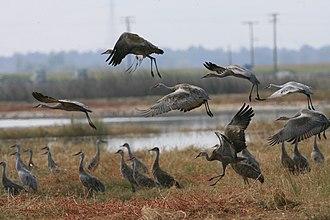 Merced National Wildlife Refuge - A flock of sandhill cranes landing