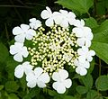 Guelder Rose - Flickr - gailhampshire.jpg