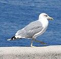 Gull (20920055993).jpg
