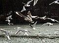Gulls at Newmillerdam - geograph.org.uk - 1722935.jpg