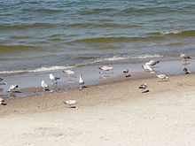 Gulls on a Polish Baltic coast - 21.JPG