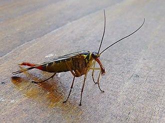 Hymenoptera - Image: Gunzesrieder Tal Insekt 3