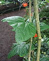 Gurania malacophylla 04.jpg