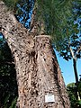HK CWB 銅鑼灣 Causeway Bay 維多利亞公園 Victoria Park tree trunk n green leaves December 2019 SSG 35.jpg