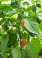 Habanero-Pflant.jpg