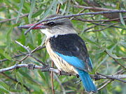 Halcyon albiventris -Pilanesberg Game Reserve, South Africa-8