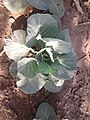 Half Grown Cabbage from Village of India.jpg
