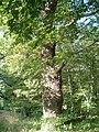 Harbke Forst Schlosspark zum Bärengrund - Alte Eichen - panoramio.jpg