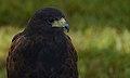 Hariss's Hawk (Captive) (37121572126).jpg