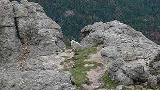 Black Elk Peak - Image: Harney Peak mountain goat