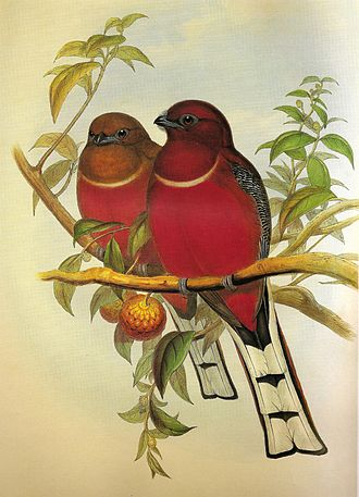 Red-headed trogon - A reproductive pair of Red-headed trogons