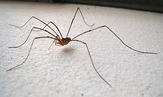 Dromopoda subclass of arachnids