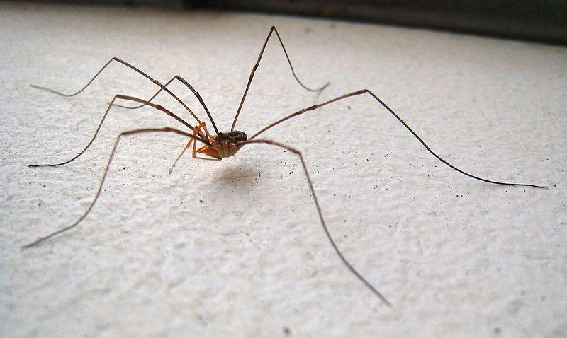 a751045a552 ... příbuzní pavouků jsou sekáči ...