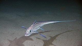 Holocephali Subclass of cartilagenous fish