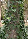 Hedera canariensis3