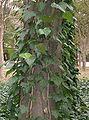 Hedera canariensis3.jpg