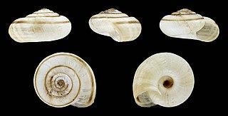 <i>Helicella itala</i> species of mollusc