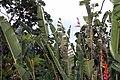 Heliconia rostrata 19zz.jpg
