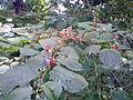 Helictres isora Sterculiaceae2.jpg