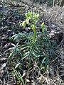 Helleborus foetidus.jpg