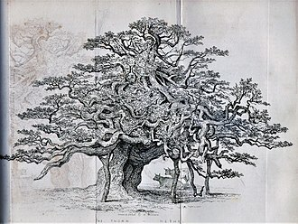 Hethel Old Thorn - The Thorn - Hethel, drawn and etched by Henry Ninham, from James Grigor's The Eastern Arboretum (1841)